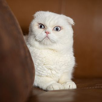 a white cat on a broad leather chair